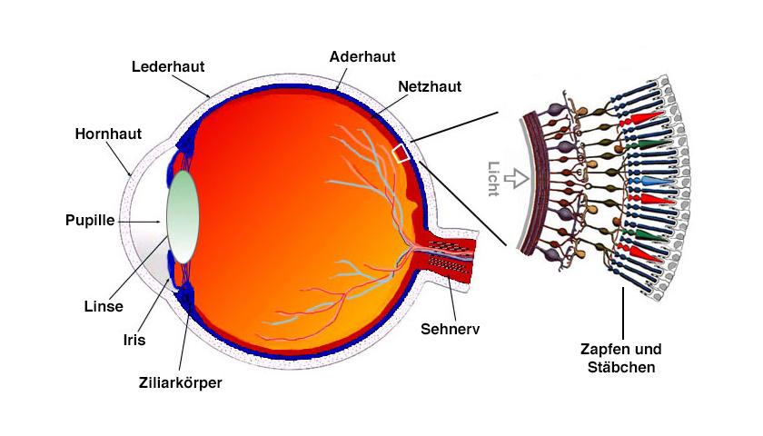 Auge Blue Cone Monochromacy