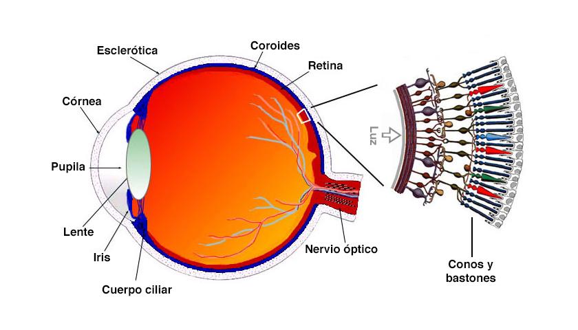 Resultat d'imatges de Un ojo humano sano tiene tres tipos de conos