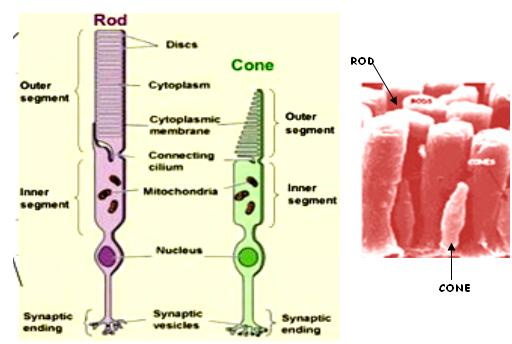 cones and rods