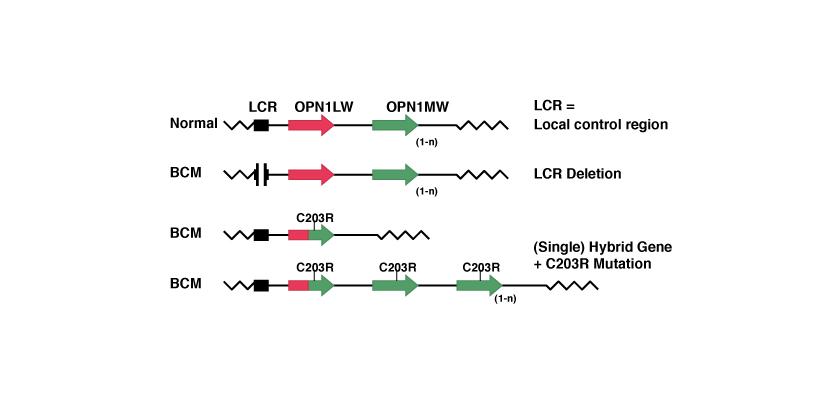 BCM Mutationes