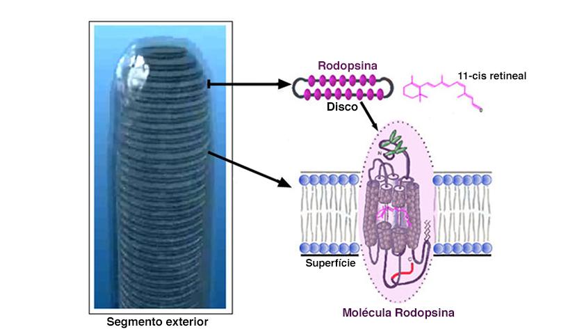 Rodopsina