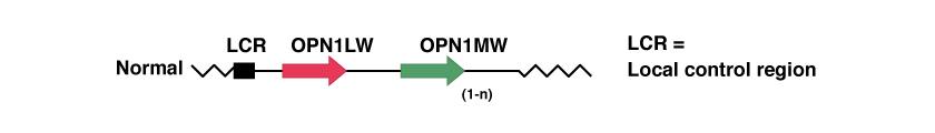Opsin Genes Array